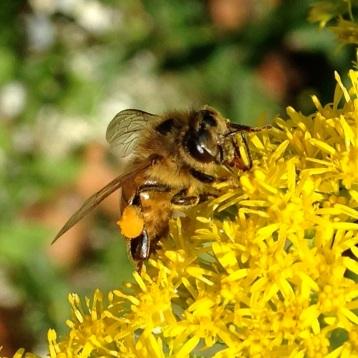 Gathering Pollen & Nectar
