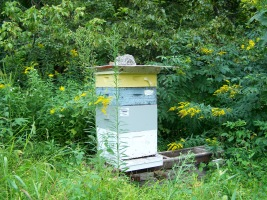 Hive near Goldenrod