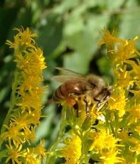 HoneyBeeGoldR