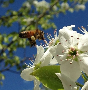 Spring Forager on Wild Cherry